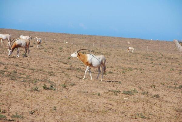 Des Oryx