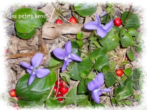 violettes-claires-03.2011.jpg