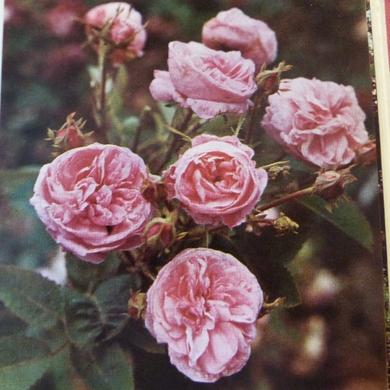 Le livre des roses...