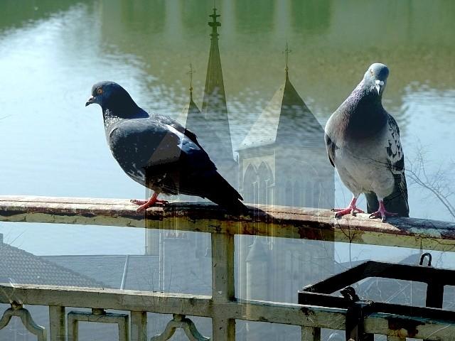 Pigeons de Metz 1 Marc de Metz 2012