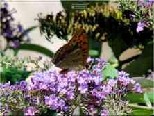 Le Tabac d'Espagne Argynnis paphia Nymphalidae