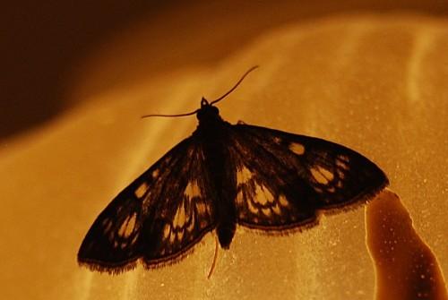 Anania-coronata---Crambidae---Transparence.jpg