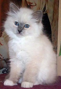 photo1-a-reserver-adorables-chatons-sacre-de-birmanie chato