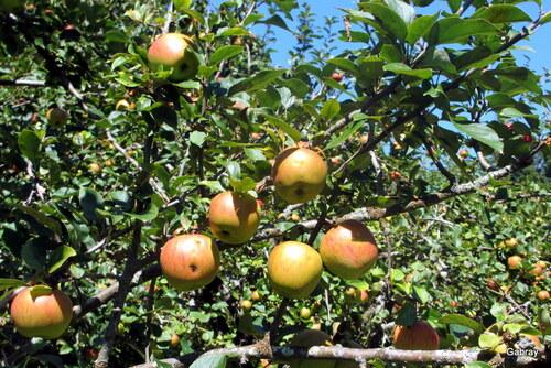 Des fruits : pommes et mûres !