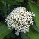 Ixora blanc - Photo : Michaël