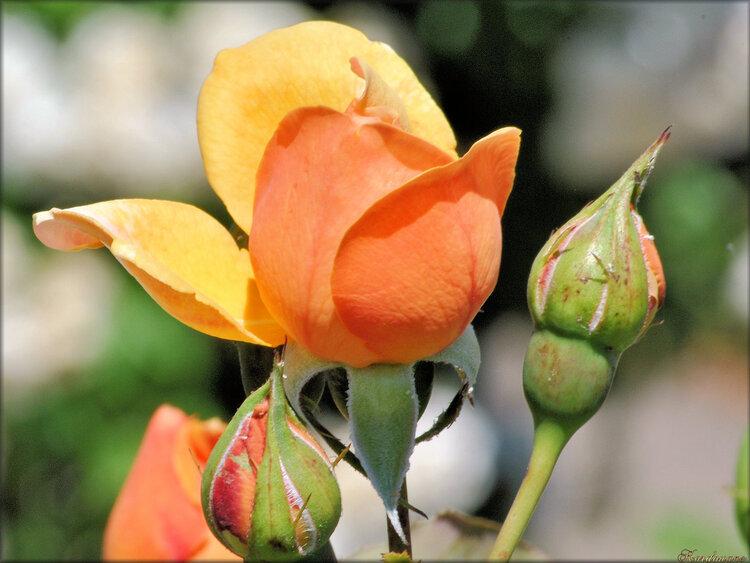 Photo de rose jaune orangée (flore)