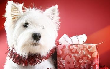 Hintergrundbilder West Highland White Terrier Hunde Geschenke Tiere Starren Blick