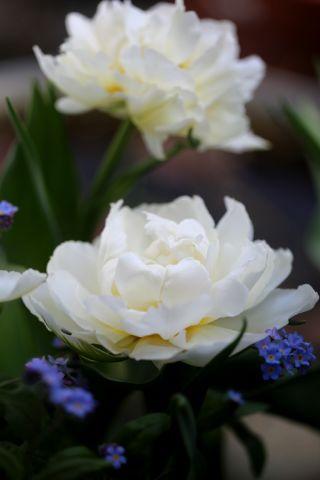 Tulipes 2018 : Cardinal Mindszenty