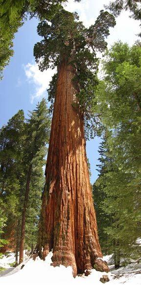 Séquoia géant baptisé Général Grant