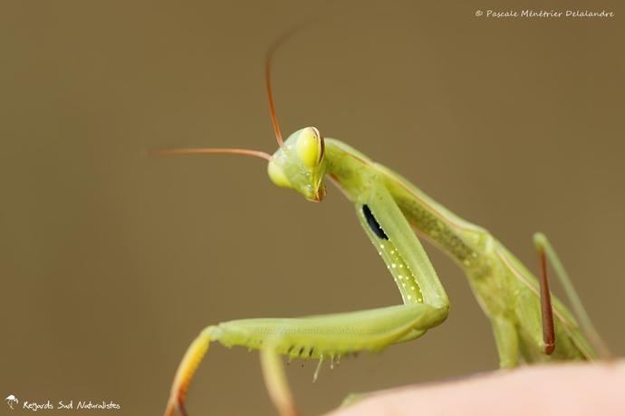 Mantis religiosa immature - Mante religieuse - forme verte
