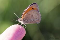Cliquez sur l'image pour voir un article complet sur ce papillon.