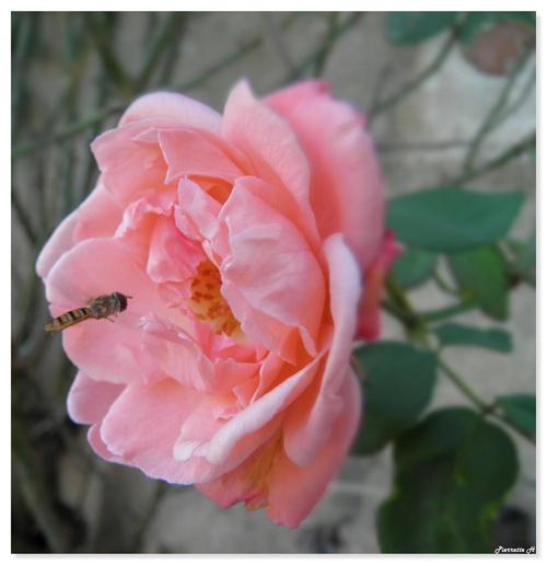 La rose et le syrphe