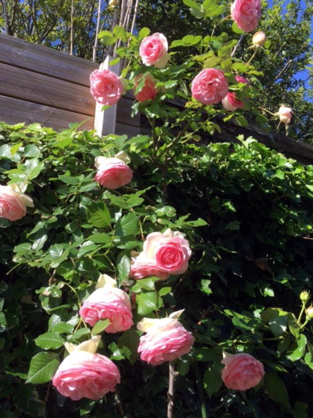 les roses du moment