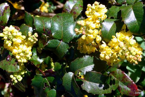 Mon mahonia aux fleurs jaunes
