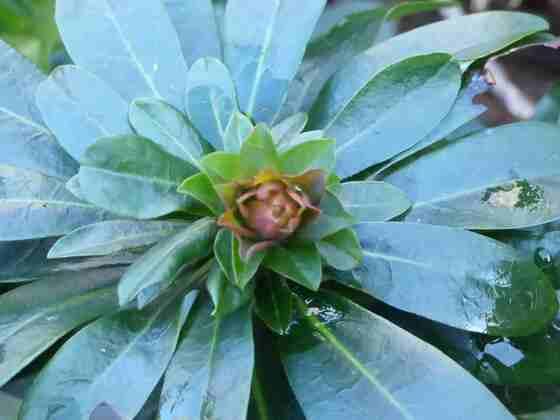 un bouton de fleur de l'euphorbe