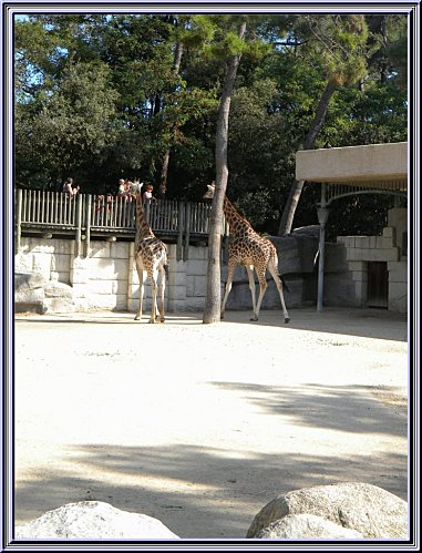 couple de giraffe