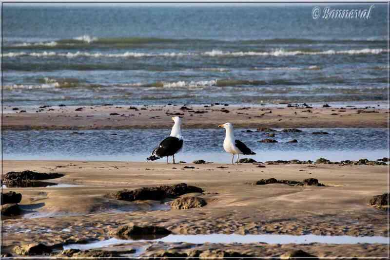 Goéland marin Ile de Ré
