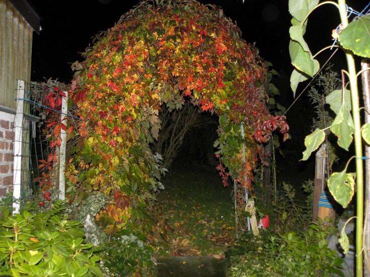 Sublime vigne vierge!