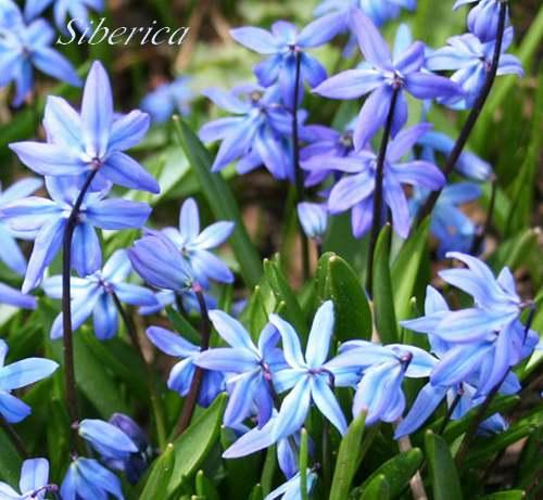 bulbe a fleurs bleues