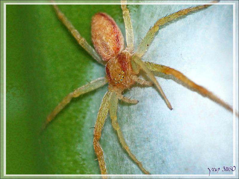 Araignée Philodromine (Philodromus albidus/rufus) - La Couarde-sur-Mer - Île de Ré - 17