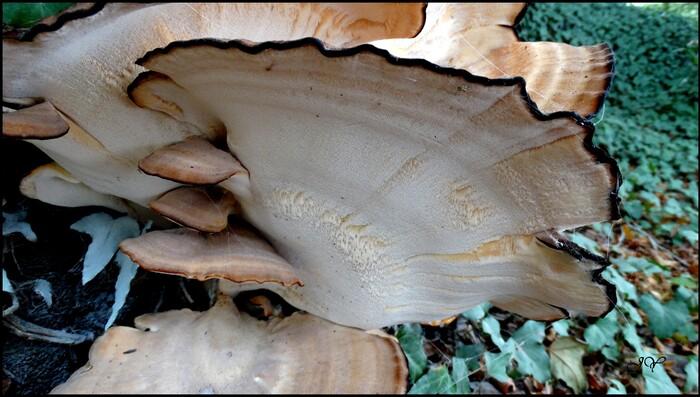 Champignon parasite.