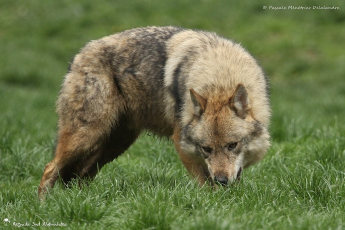 Loup gris - Canis lupus Linnaeus 1758