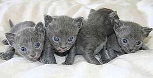korat kittens