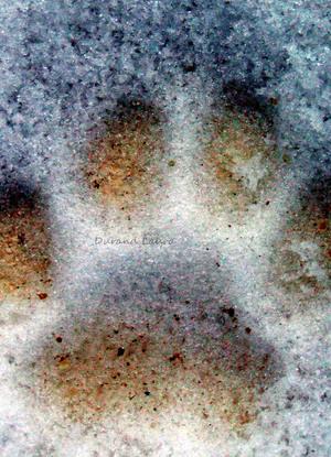 Patte du chat  Mistigri dans la neige - Hiver 2010 (-12°C)