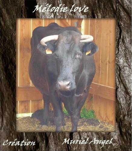 vache-Noire-copiry-MA.JPG