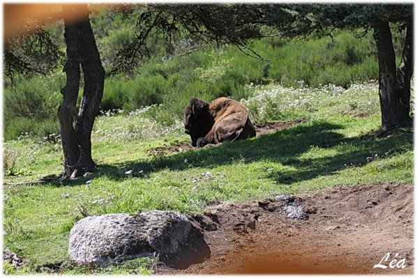 Animaux-2741-bison-amerique.jpg