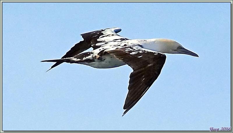 Fou du Cap, Cape Gannet (Morus capensis) - Le Cap - Afrique du sud
