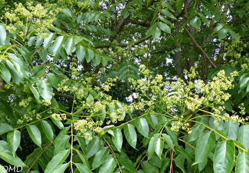 Ailanthus altissima  -  ailante glanduleux - faux vernis du Japon
