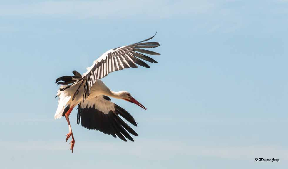 Acrobaties d'une cigogne