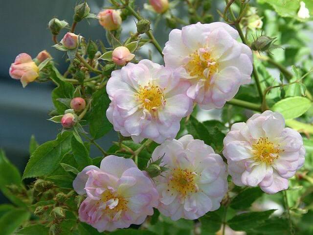 Les roses de Warren : L'Ange de Lesdain