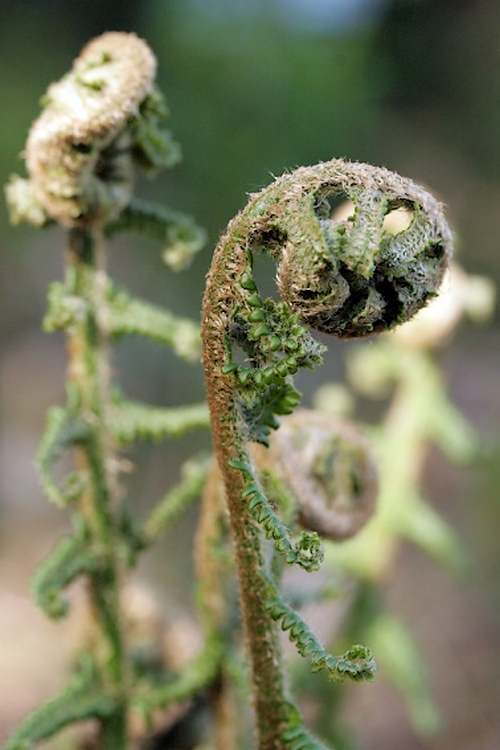 Dryopteris ou Fougère mâle