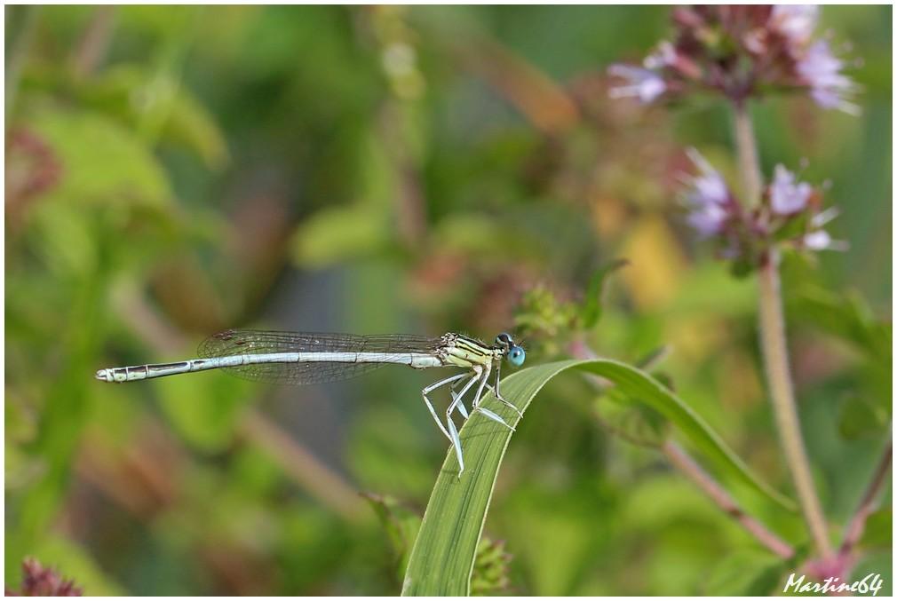Les libellules : des demoiselles féroces