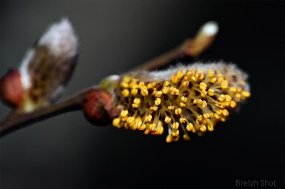 Fleur de saule