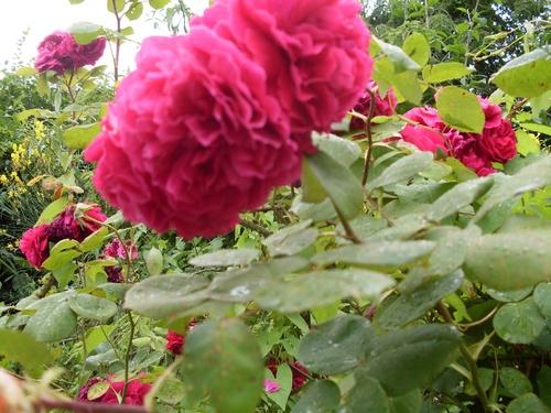 le rose est mis