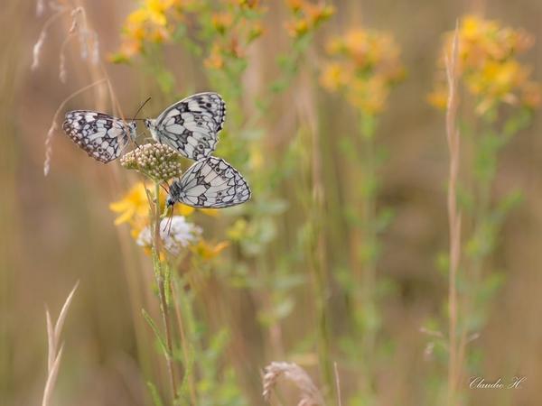 De très belles photos d'insectes réalisées par Claudie Hardouin...