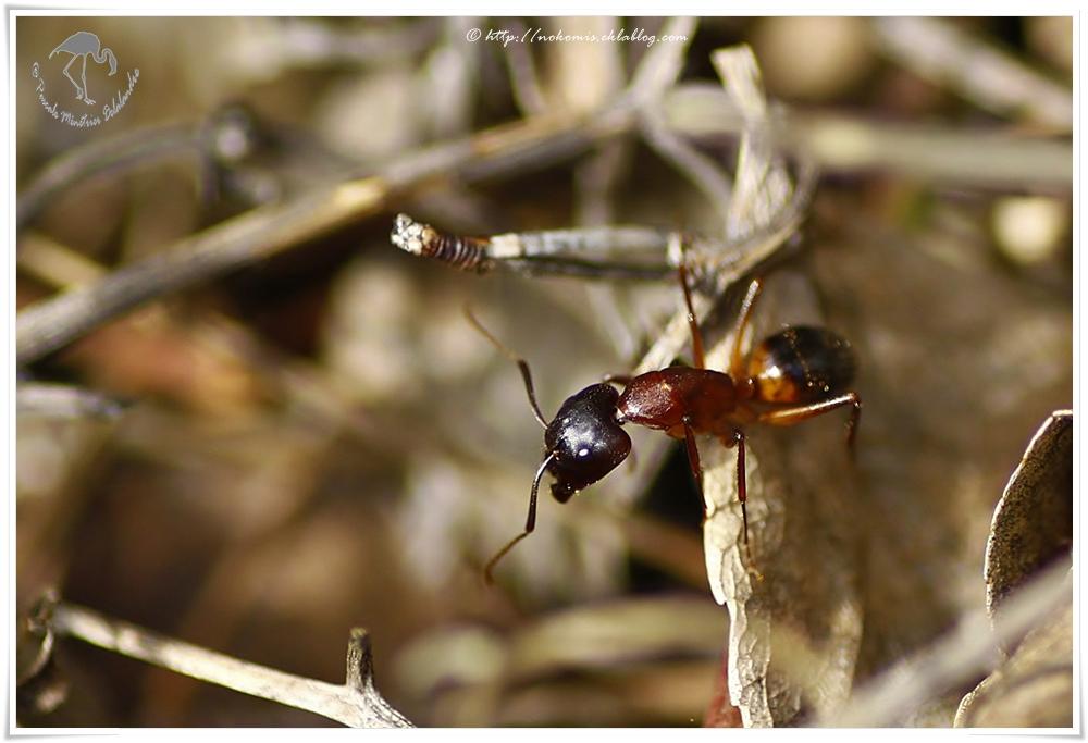 Fourmi de la sous famille formicinae