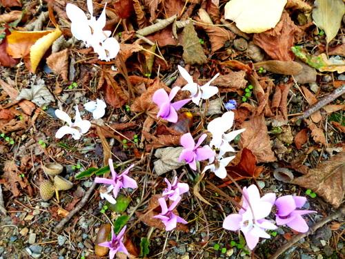 fleurs -cyclamens et feuilles d'automne parc