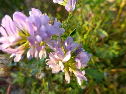 Les petites fleurs des champs ou bordures...