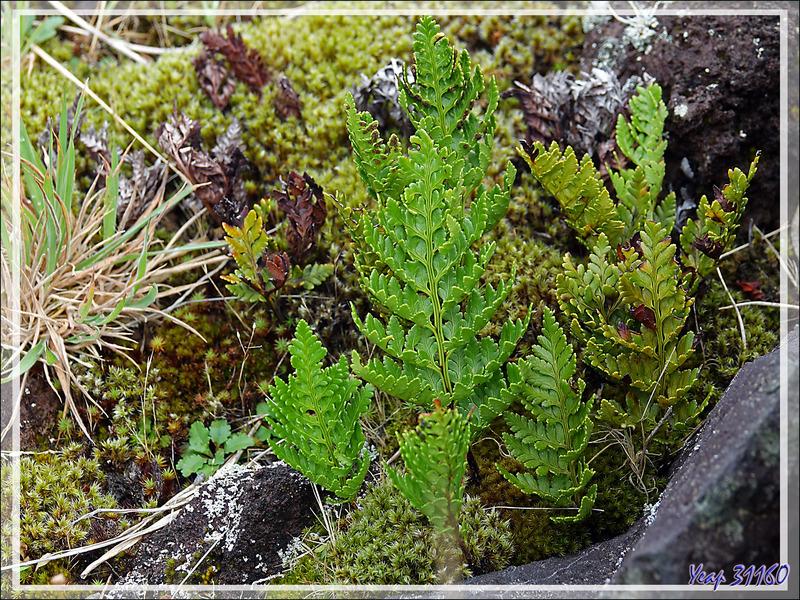Mousses, fougères et lichens colonisent les pierres volcaniques - Edinburgh of the Seven Seas - Tristan da Cunha