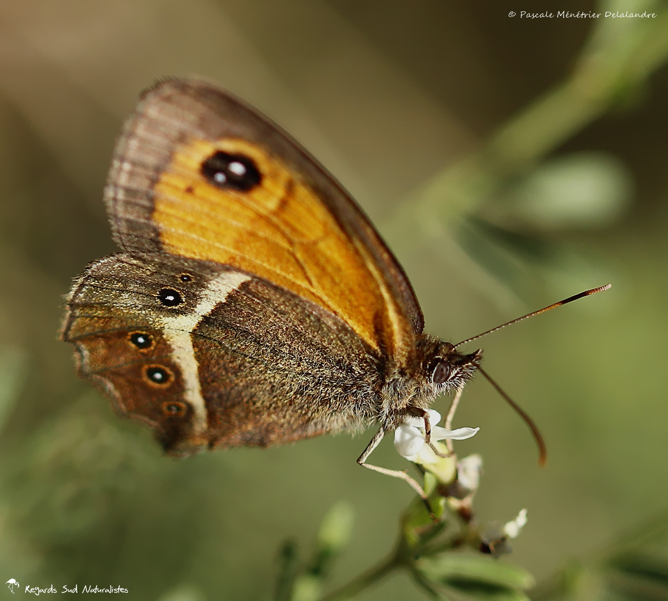 Ocellé rubané ou Tityre ♀ - Pyronia bathseba - Nymphalidae