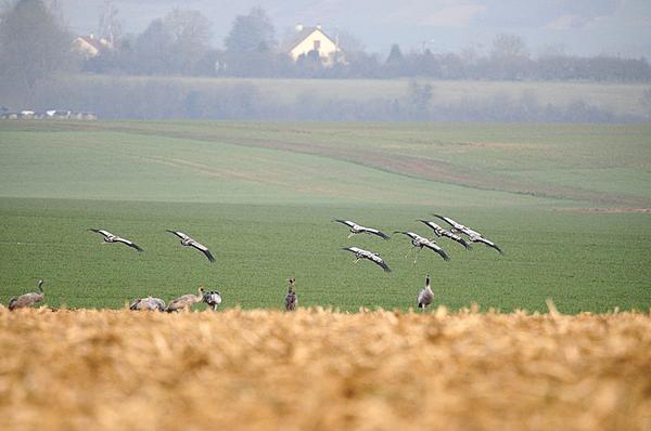 Jean-Pierre Gurga a photographié des grues cendrées à Châtillon sur Seine...