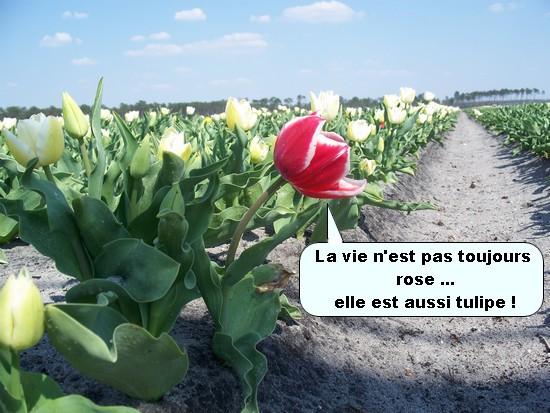 Les tulipes de nos landes