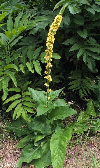 Verbascum nigrum  -  molène noire