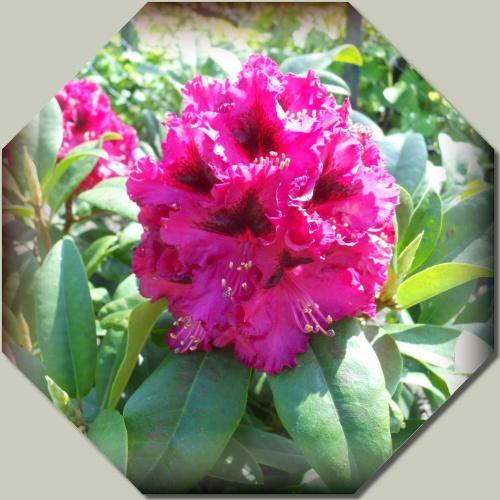 rhododendron souvenir du Congo
