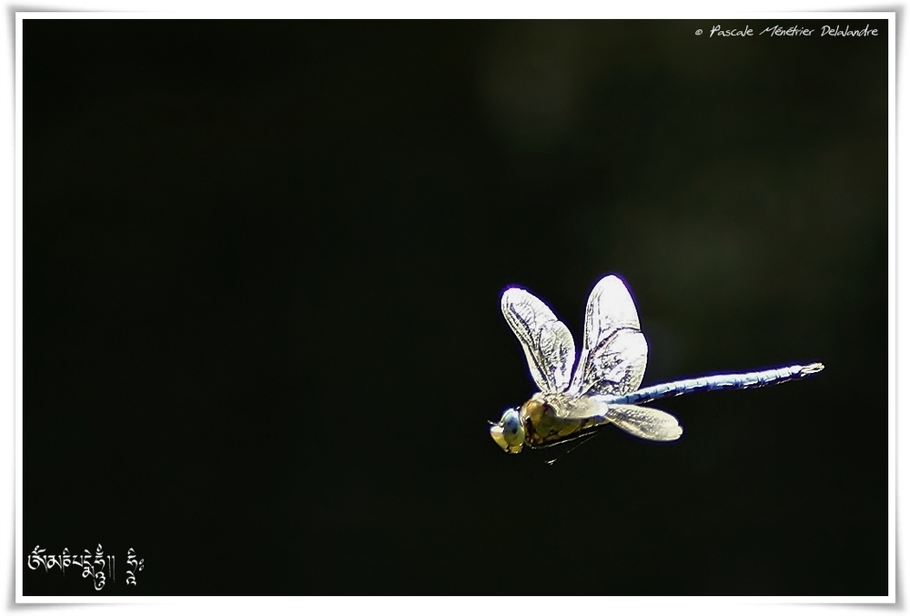 Anax impérator ♂ meture (Anax Empereur)