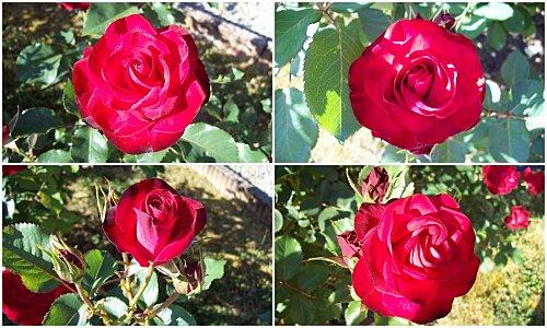 Roses-rouges-18-mai-2011.jpg